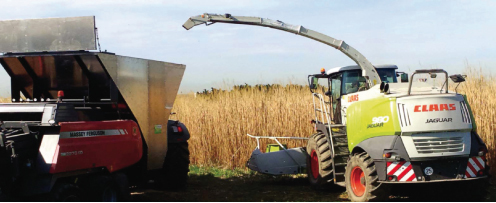 Miscanthus Green care